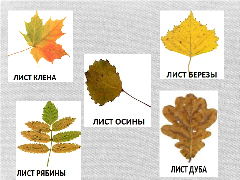 это картинки листов клена березы дуба как