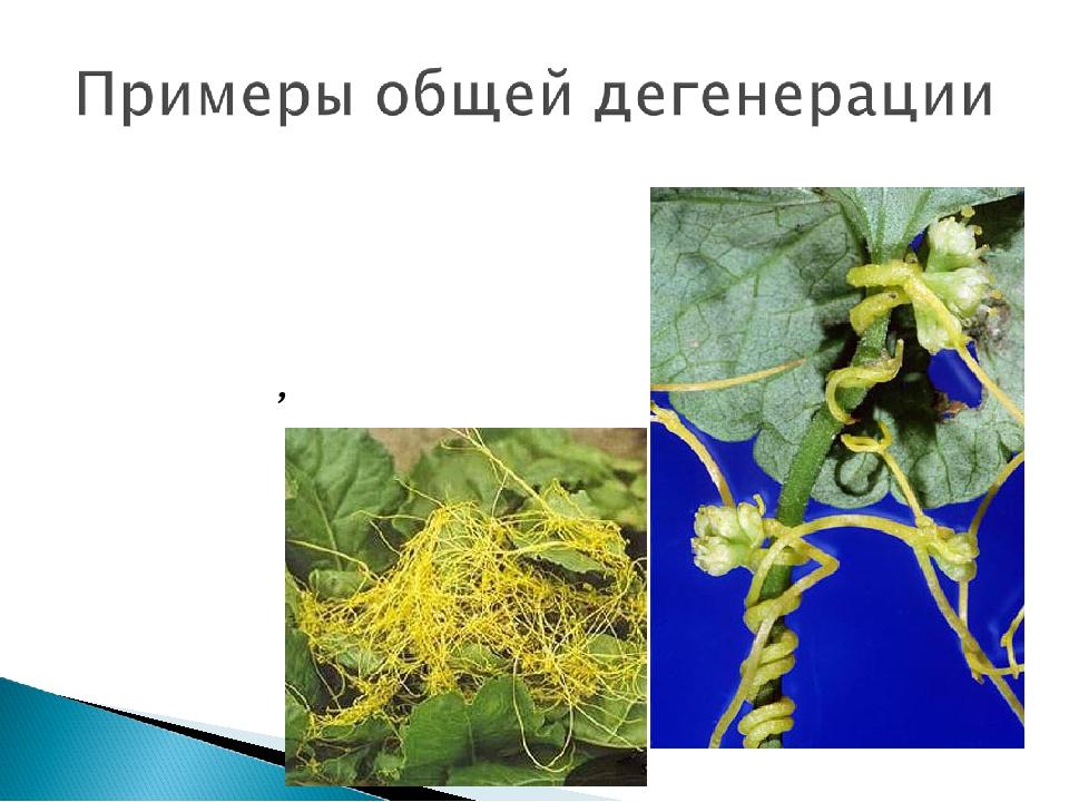 Повилика Европейская растение с атрофированными листьями, вместо корней образ...