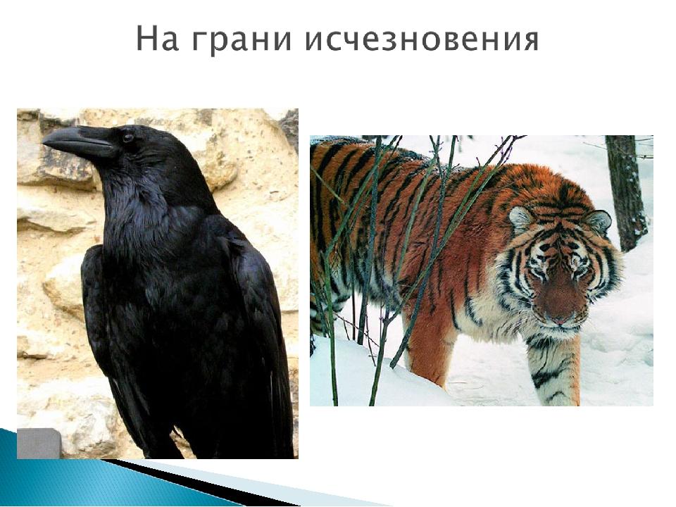 Уссурийский тигр Черный ворон