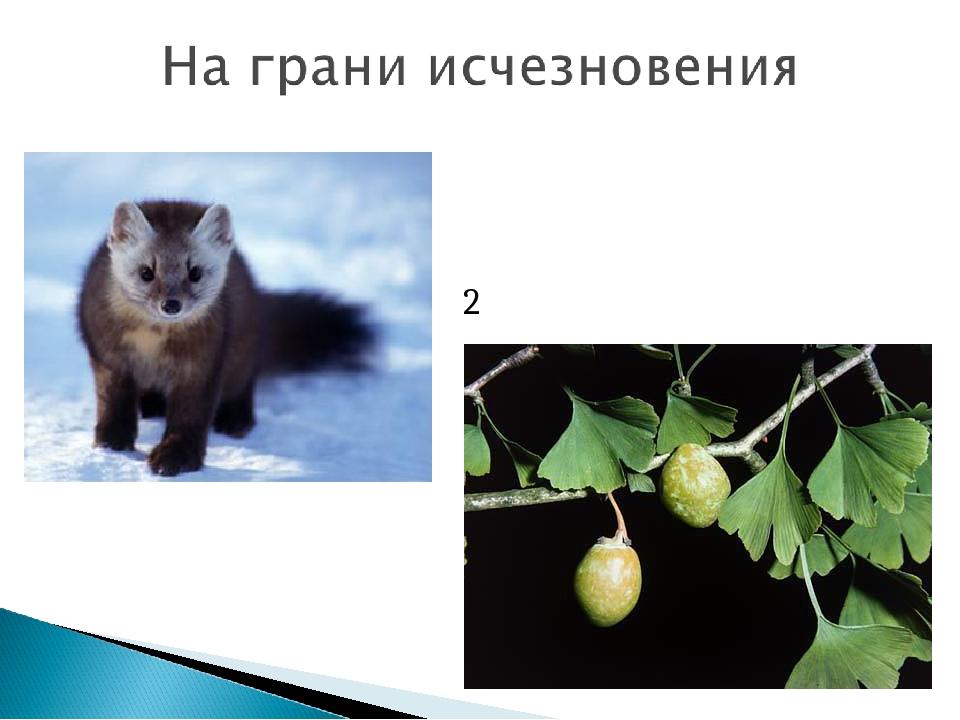 2 вида семейства Гинкговые Соболь сибирский