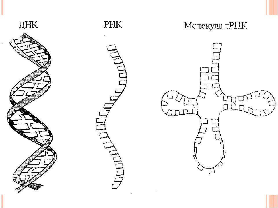 схема строения днк и рнк типичном течении болезни