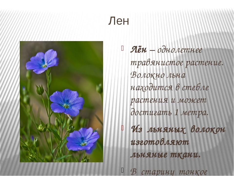 Лен Лён – однолетнее травянистое растение. Волокно льна находится в стебле ра...