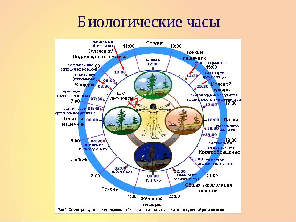 Биологические часы аюрведа