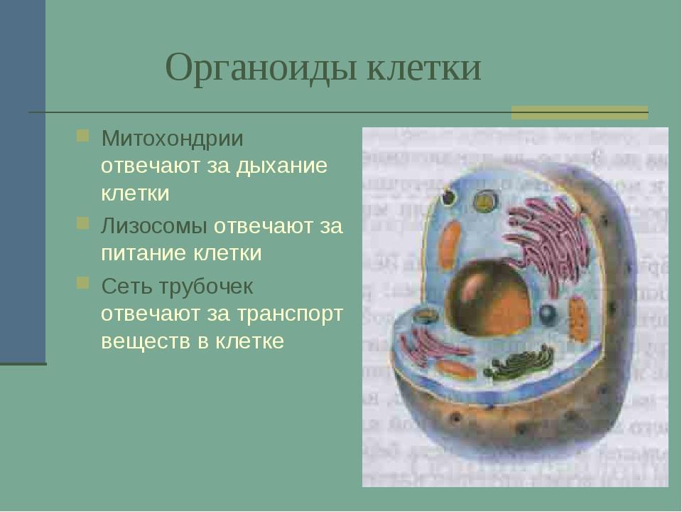 Органоиды клетки Митохондрии отвечают за дыхание клетки Лизосомы отвечают за...