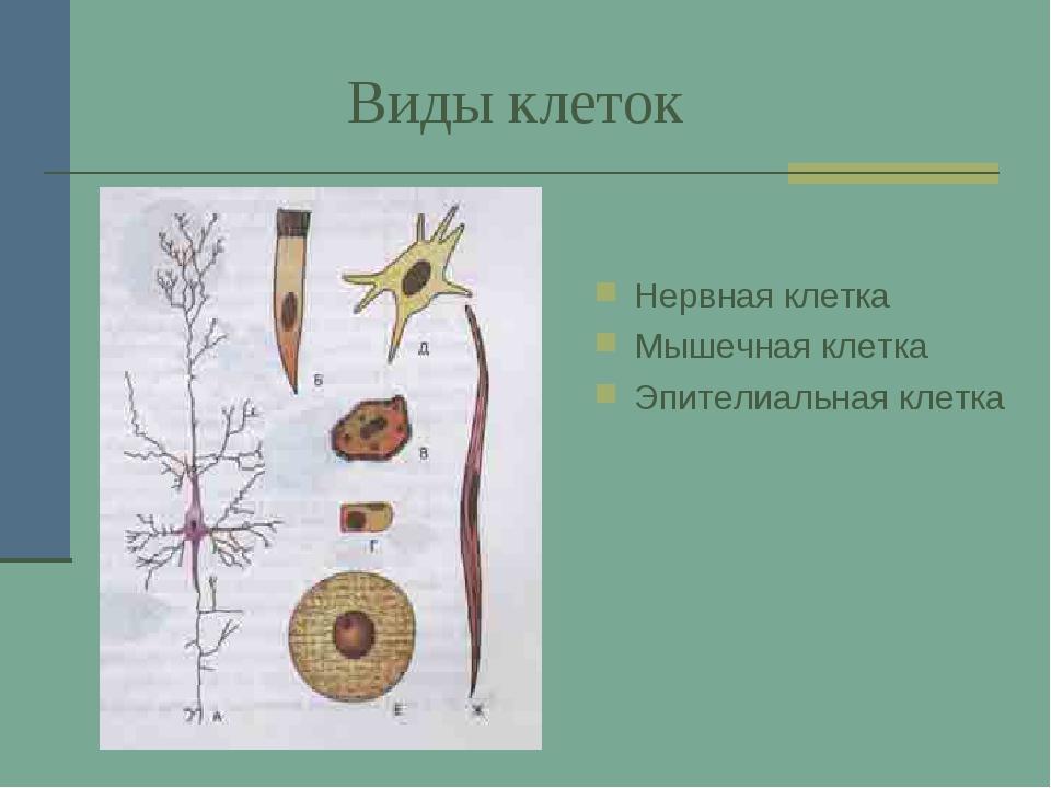 Виды клеток Нервная клетка Мышечная клетка Эпителиальная клетка