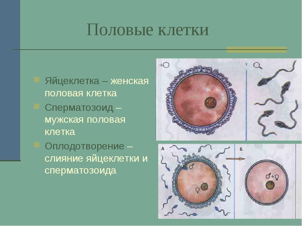 Половые клетки Яйцеклетка – женская половая клетка Сперматозоид – мужская по...