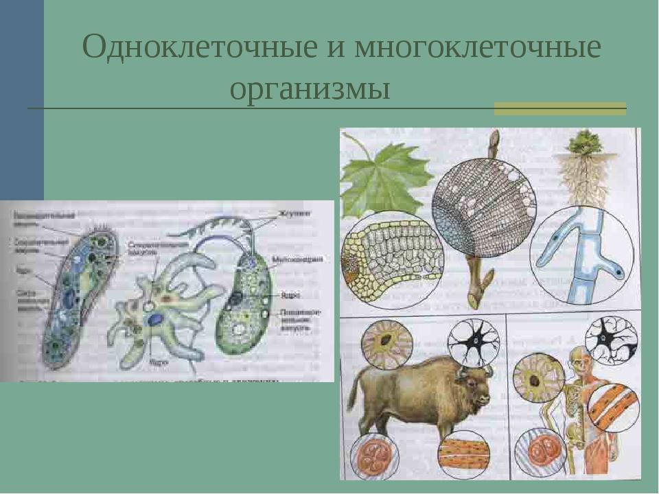 Одноклеточные и многоклеточные организмы