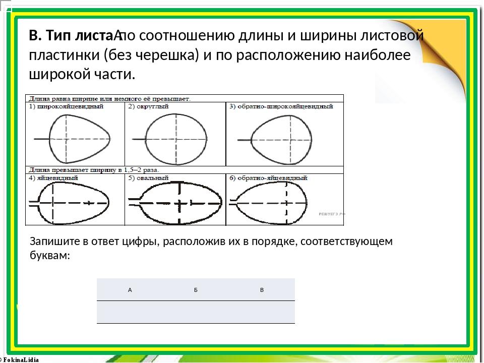 В. Тип листапо соотношению длины и ширины листовой пластинки (без черешка)...
