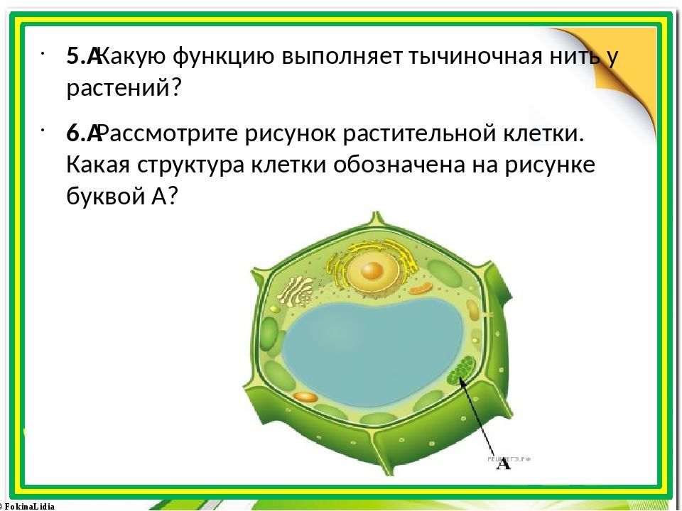 5.Какую функцию выполняет тычиночная нить у растений? 6.Рассмотрите рисуно...
