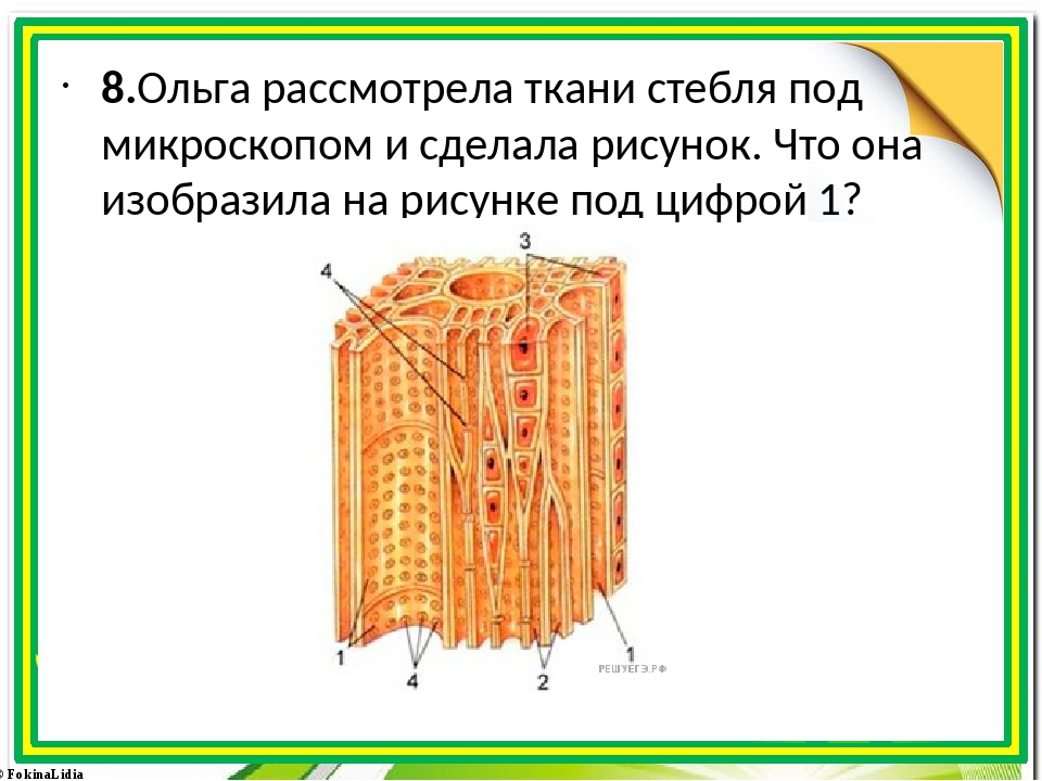 8.Ольга рассмотрела ткани стебля под микроскопом и сделала рисунок. Что она...