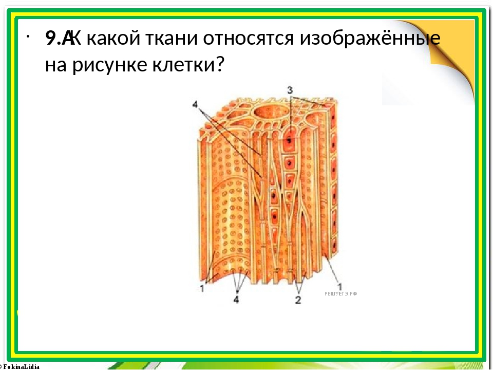 9.К какой ткани относятся изображённые на рисунке клетки? © FokinaLidia