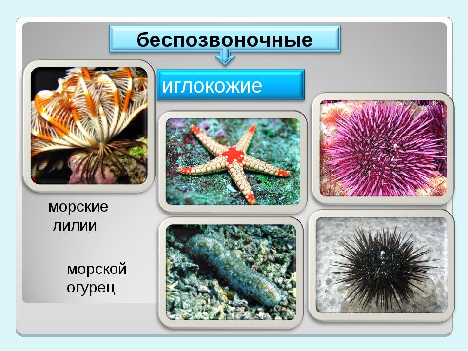 морские лилии морской огурец
