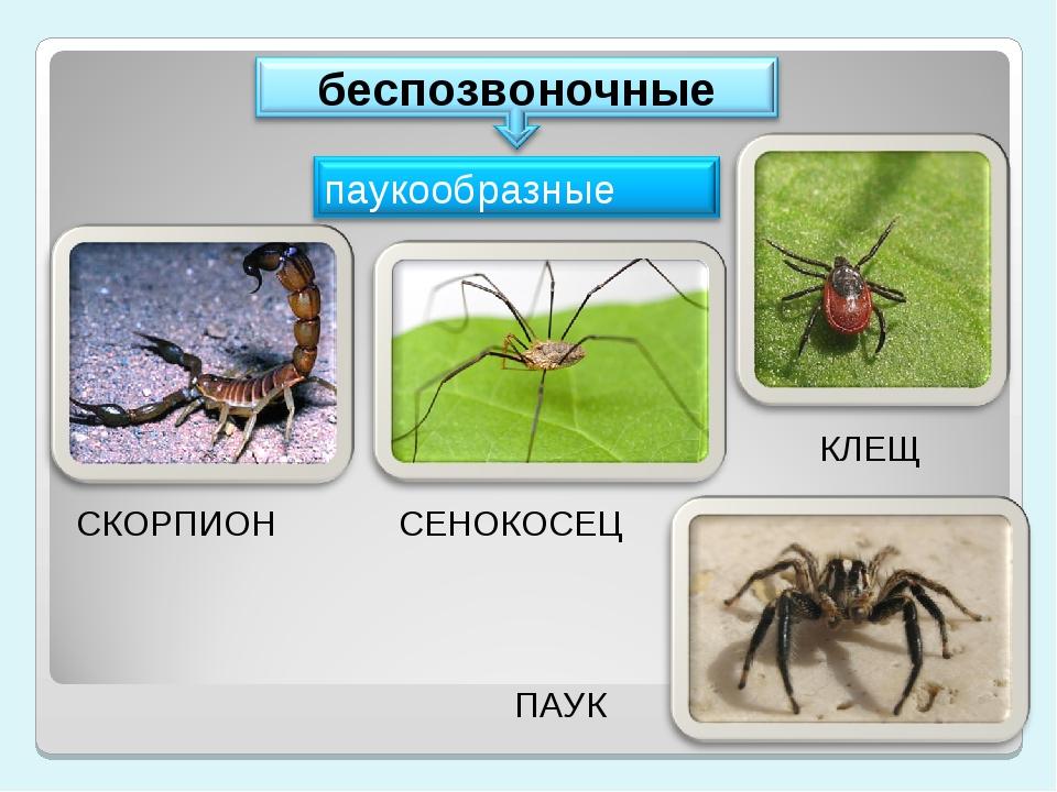 СКОРПИОН СЕНОКОСЕЦ ПАУК КЛЕЩ