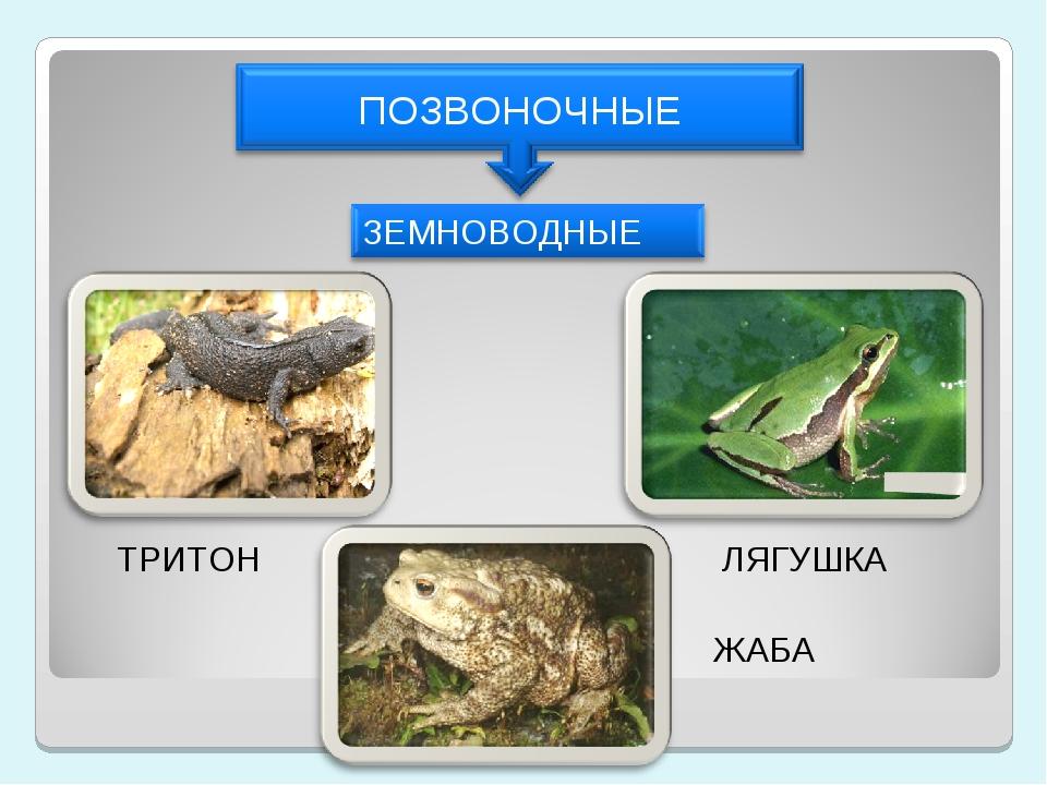 ТРИТОН ЛЯГУШКА ЖАБА