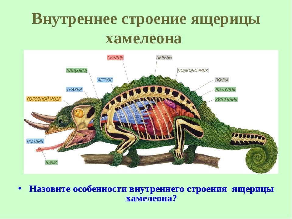 Внутреннее строение ящерицы хамелеона Назовите особенности внутреннего строен...