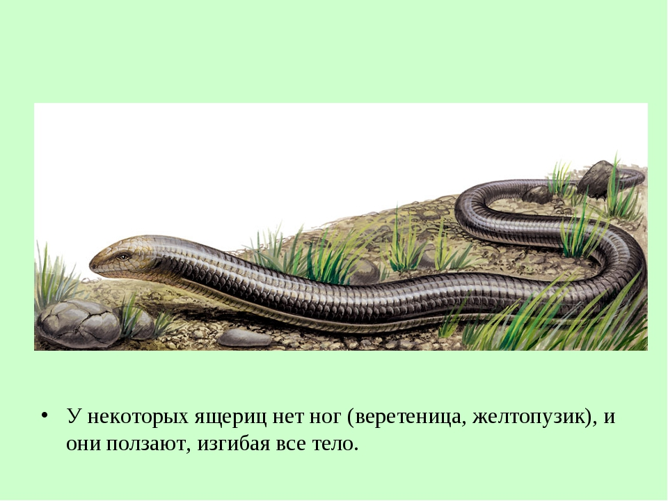 У некоторых ящериц нет ног (веретеница, желтопузик), и они ползают, изгибая в...