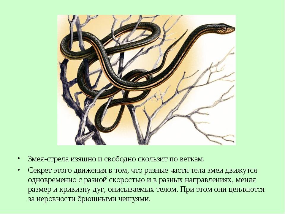 Змея-стрела изящно исвободно скользит поветкам. Секрет этого движения в том...