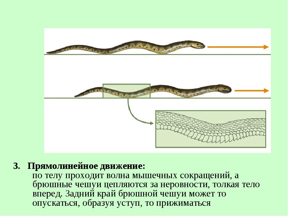 3. Прямолинейное движение: по телу проходит волна мышечных сокращений, а брюш...