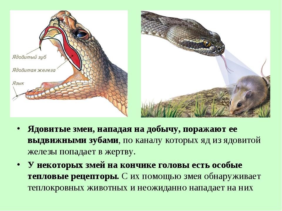 Ядовитые змеи, нападая на добычу, поражают ее выдвижными зубами, по каналу ко...
