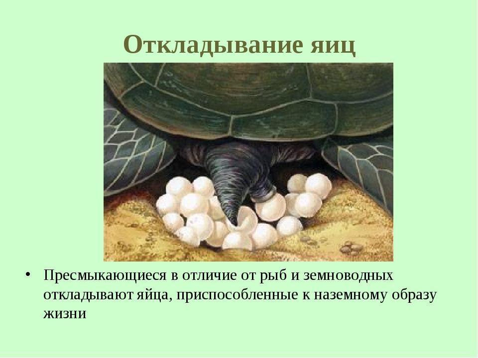 Откладывание яиц Пресмыкающиеся в отличие от рыб и земноводных откладывают яй...