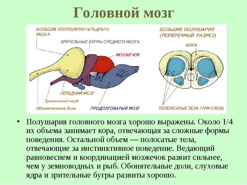 Головной мозг Полушария головного мозга хорошо выражены. Около 1/4 их объема...