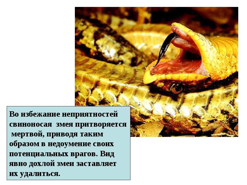 Во избежание неприятностей свиноносая змея притворяется мертвой, приводя таки...