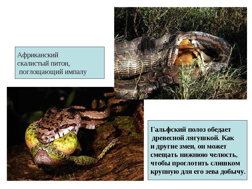 Гальфский полоз обедает древесной лягушкой. Как и другие змеи, он может смеща...