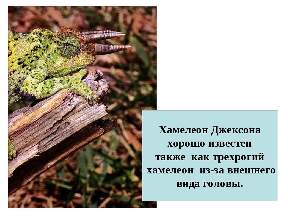 Хамелеон Джексона хорошо известен также как трехрогий хамелеон из-за внешнего...