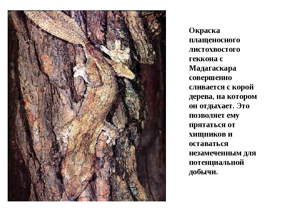 Окраска плащеносного листохвостого геккона с Мадагаскара совершенно сливается...
