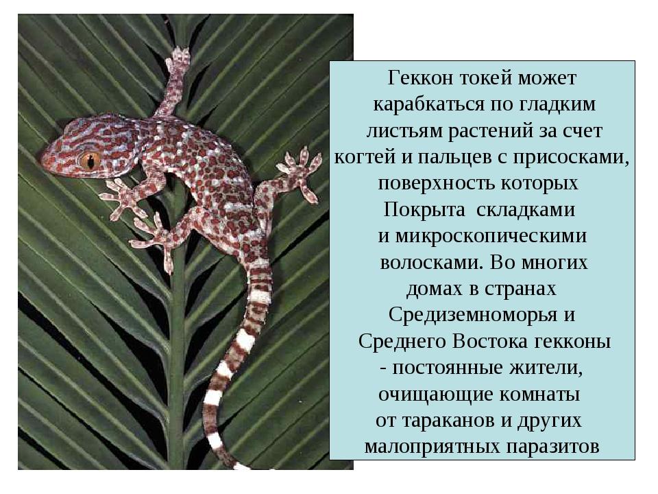 Геккон токей может карабкаться по гладким листьям растений за счет когтей и п...