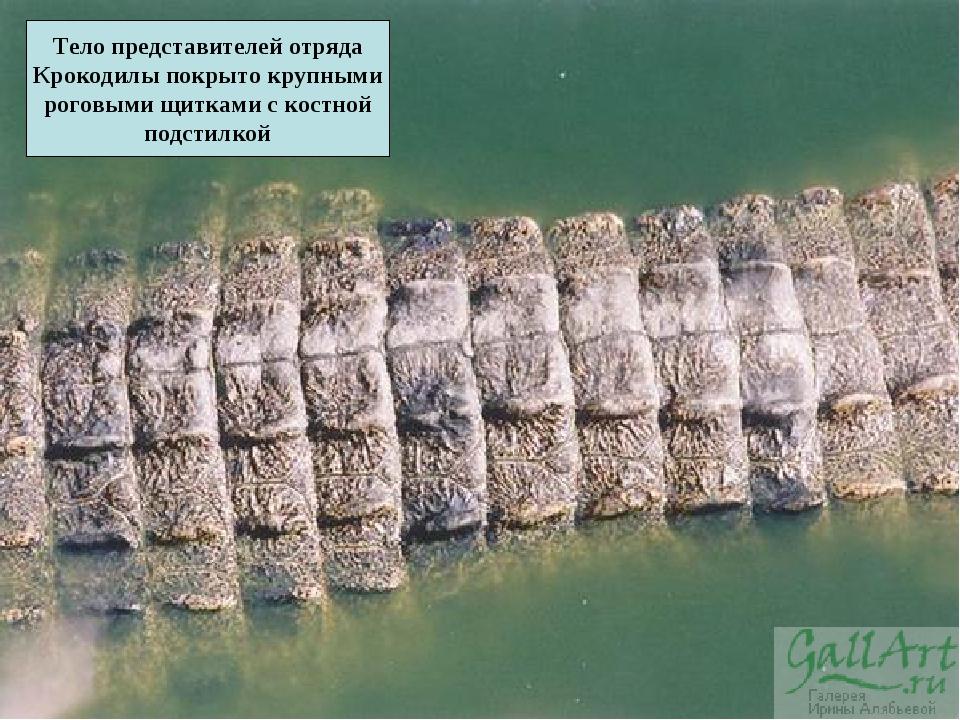 Тело представителей отряда Крокодилы покрыто крупными роговыми щитками с кост...