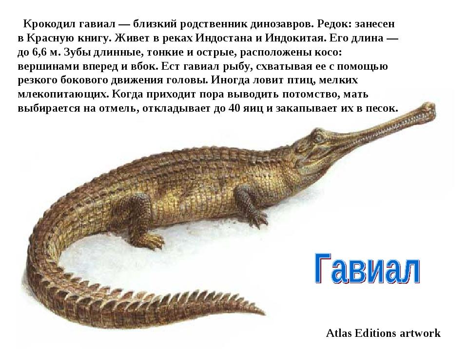 Atlas Editions artwork Крокодил гавиал — близкий родственник динозавров. Р...