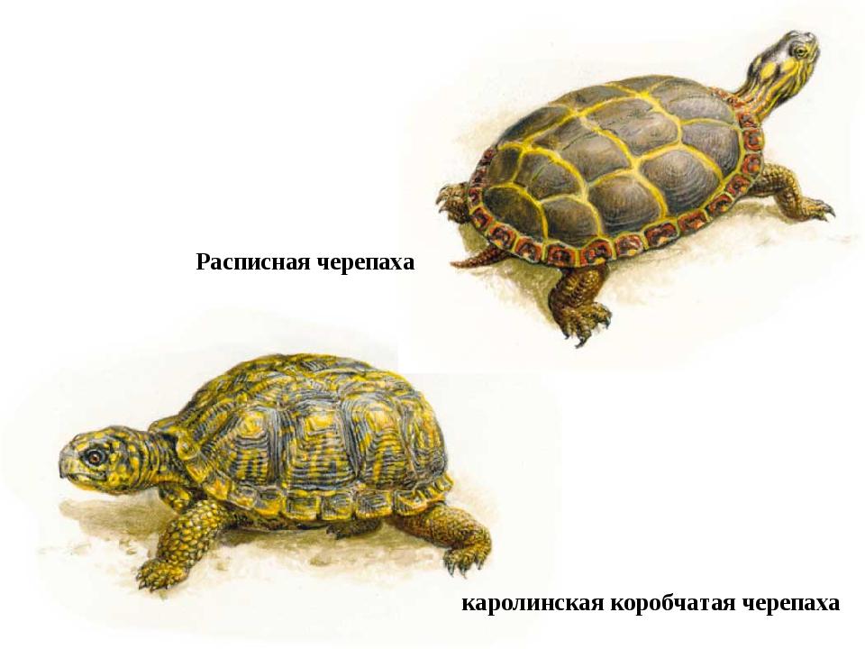 каролинская коробчатая черепаха Расписная черепаха
