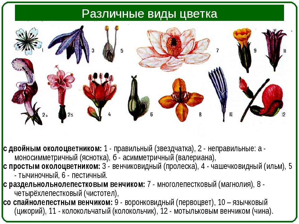 Различные виды цветка с двойным околоцветником: 1 - правильный (звездчатка),...