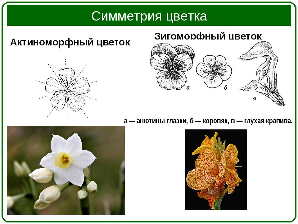 Симметрия цветка Актиноморфный цветок Зигоморфный цветок а — анютины глазки,...