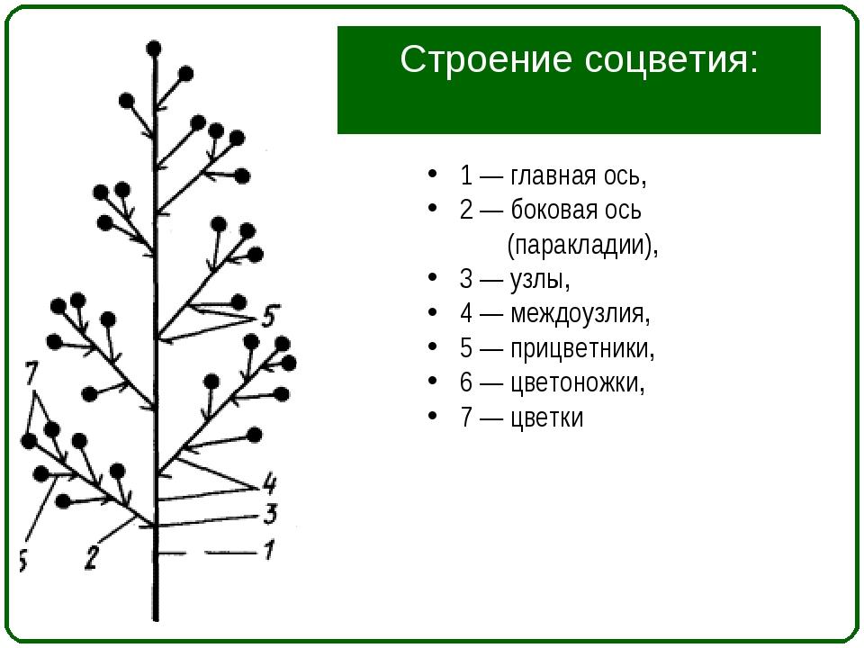 Строение соцветия: 1 — главная ось, 2 — боковая ось (паракладии), 3 — узлы, 4...