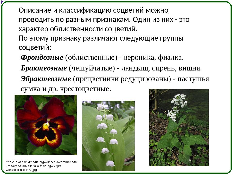 Описание и классификацию соцветий можно проводить по разным признакам. Один и...