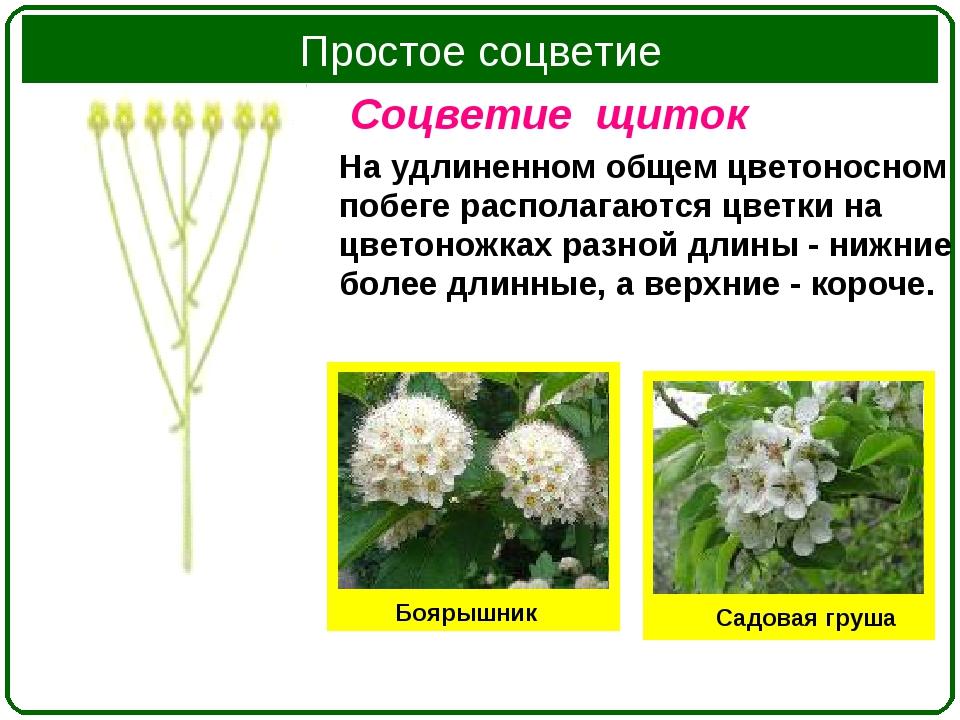 Соцветие щиток На удлиненном общем цветоносном побеге располагаются цветки на...