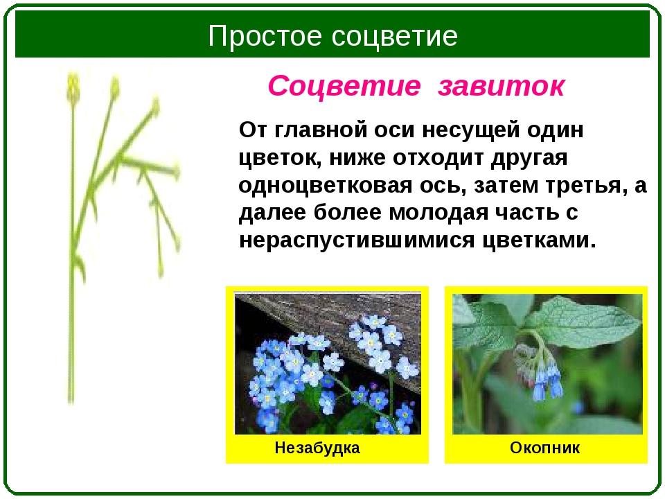 Соцветие завиток От главной оси несущей один цветок, ниже отходит другая одно...