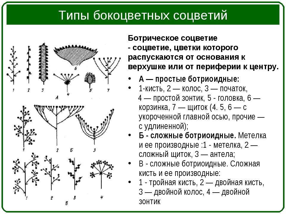 Типы бокоцветных соцветий А — простые ботриоидные: 1-кисть, 2 — колос, 3 — по...