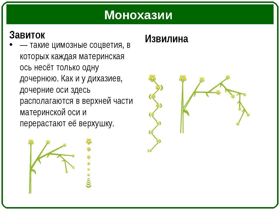 Монохазии Завиток — такие цимозные соцветия, в которых каждая материнская ос...