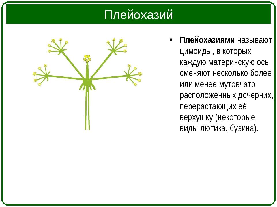 Плейохазий Плейохазиями называют цимоиды, в которых каждую материнскую ось см...