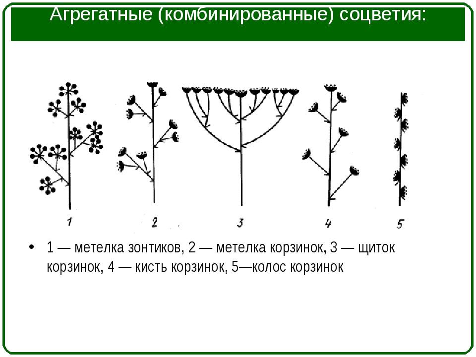 Агрегатные (комбинированные) соцветия: 1 — метелка зонтиков, 2 — метелка корз...