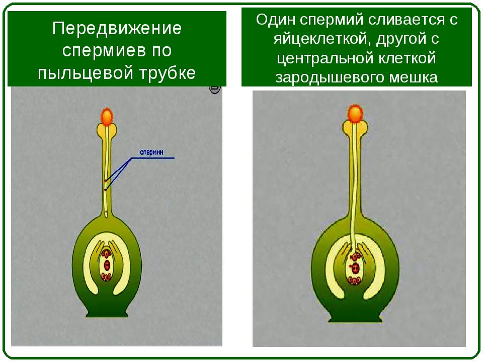 Передвижение спермиев по пыльцевой трубке Один спермий сливается с яйцеклетко...