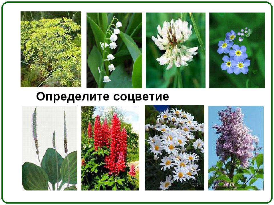 Определите соцветие