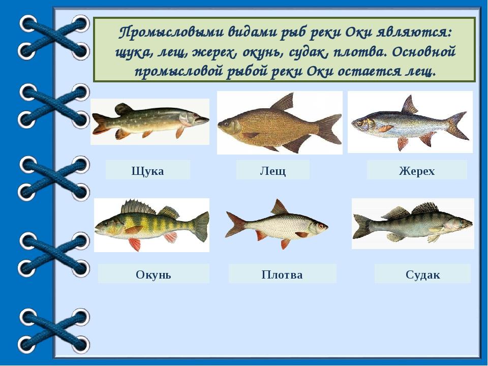 Фото и название речных рыб на оке