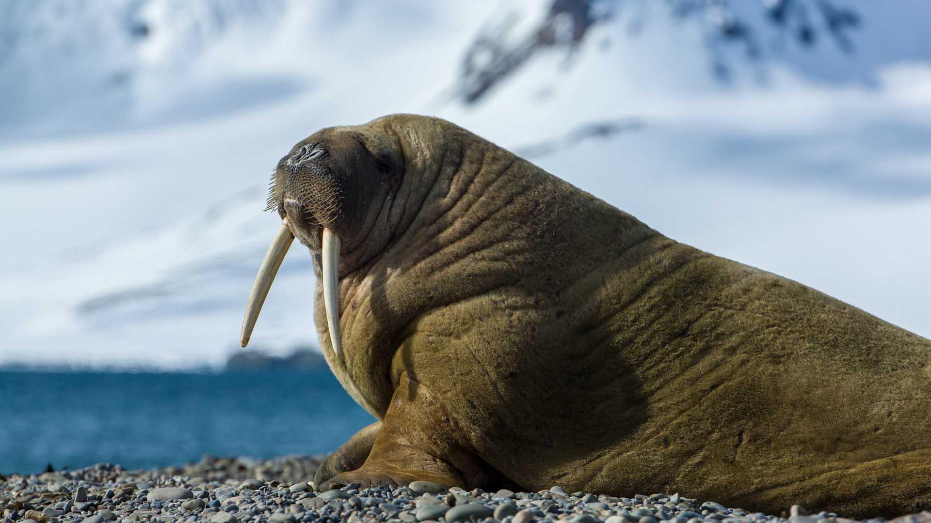 зачем откуда фото моржа в арктике когда она осознаёт