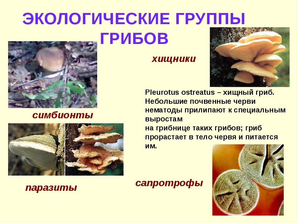 ЭКОЛОГИЧЕСКИЕ ГРУППЫ ГРИБОВ симбионты паразиты хищники Pleurotus ostreatus –...