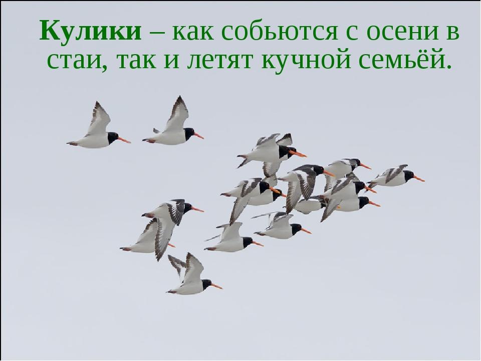 Кулики – как собьются с осени в стаи, так и летят кучной семьёй.