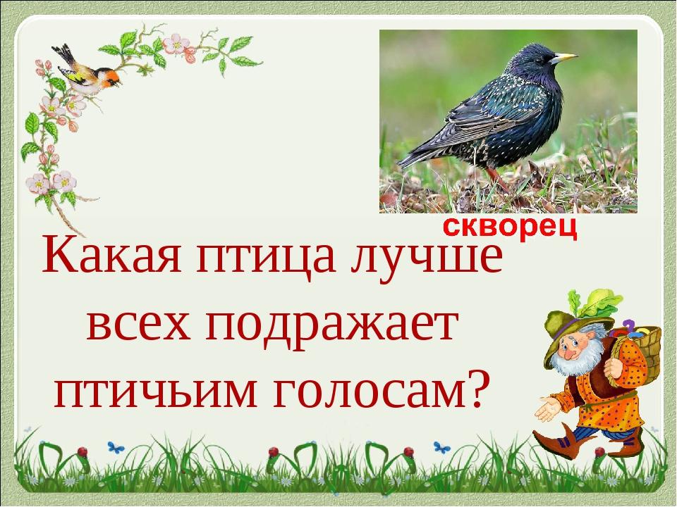 Какая птица лучше всех подражает птичьим голосам?